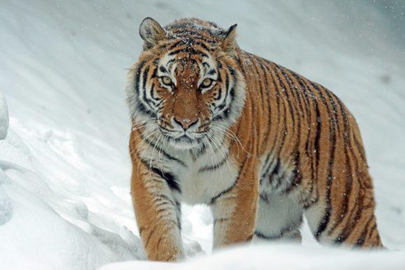 coach de vie paris tigre dans la neige